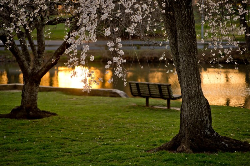 Spring flowers on trees next to a pond with a sunset reflection.
